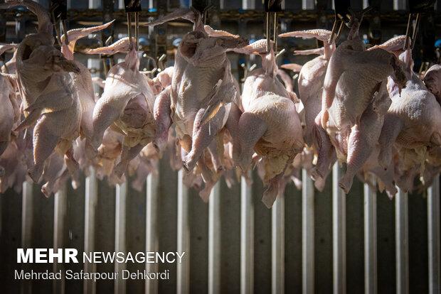 چرا مرغ گران شد؟/ تناقض در آمار تولید و عرضه!