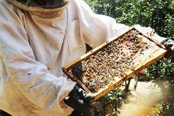 مزرعه پرورش زنبورعسل در ورامین