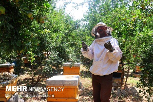 Bee breeding, honey production in Varamin پرورش زنبورعسل در ورامین