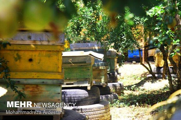 Bee breeding, honey production in Varamin