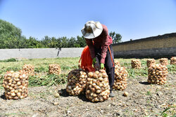 اصفہان کے فلاورجان علاقہ میں پیاز جمع کرنے کی فصل کا آغاز