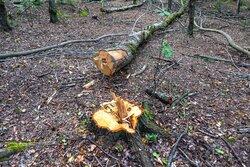 جنگل و جنگلبان؛ زخمی تبر  و دشنه