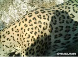 Persian leopard spotted in Malekshahi