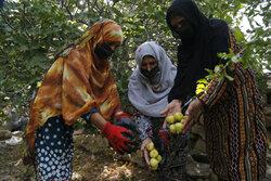 آغاز برداشت میوه های سردسیری از باغات روستای هماگ