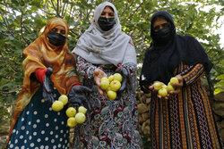 İran'ın güneyinde hasat sezonu