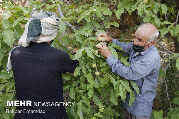 Homak köyünde hasat dönemi başladı