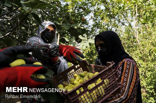 Harvesting season begins in village in S. Iran