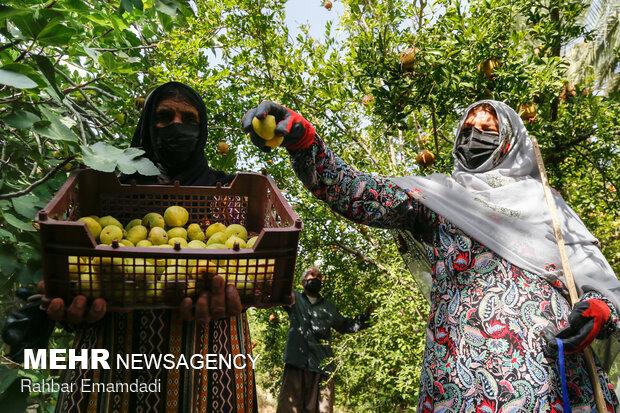 افت شدید قیمت و نبود بازار مهمترین چالش کشاورزی هرمزگان است