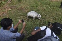 سلفی گرفتن با کوچکترین گاو جهان