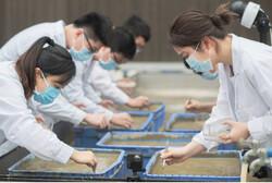 چین برنج فضایی را برداشت کرد