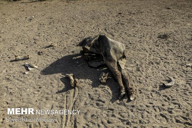 تراژدی گاومیش ها در هور