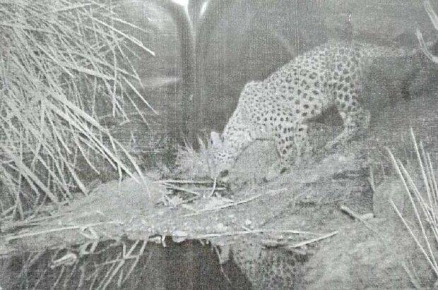 Persian leopard spotted in Dashtestan