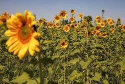 Sunflower farm in  North Khorasan Province