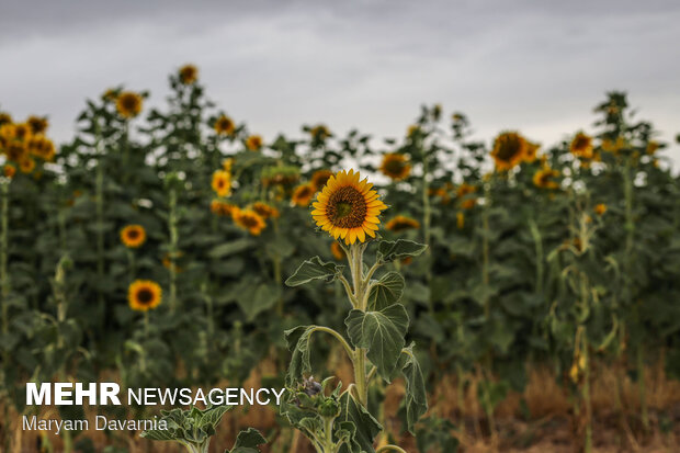 مزرعه آفتابگردان در خراسان شمالی