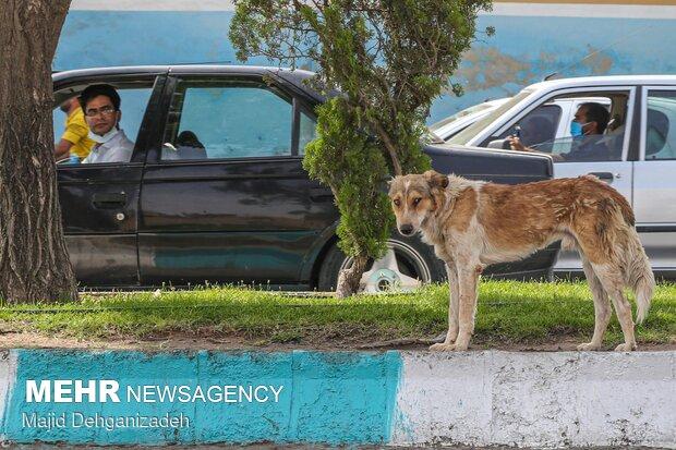 ساماندهی سگهای بیپناه در یزد