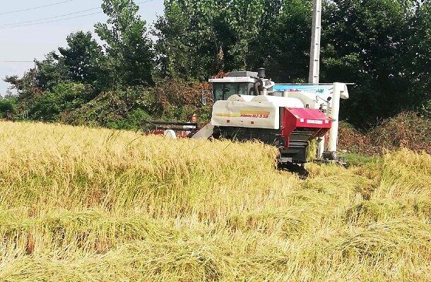 پایان برداشت برنج در گیلان  ۱۷۵ هزار هکتار مکانیزه برداشت شد