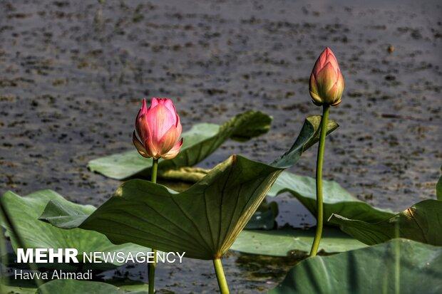 گل نیلوفر بیانگر نمادهای مختلفی  از جمله نمادصلح جهانی، باروری،عبادت، ریاضت، تندرستی،زیبایی،عشق، کامیابی،حمایت از موجودات زندهو قدرت حاصل خیز بودن زمین است