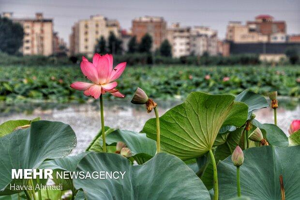 نیلوفر آبی میان گل و لای مردابها رشد کرده و به نهایت زیبایی و قشنگی میرسد.
