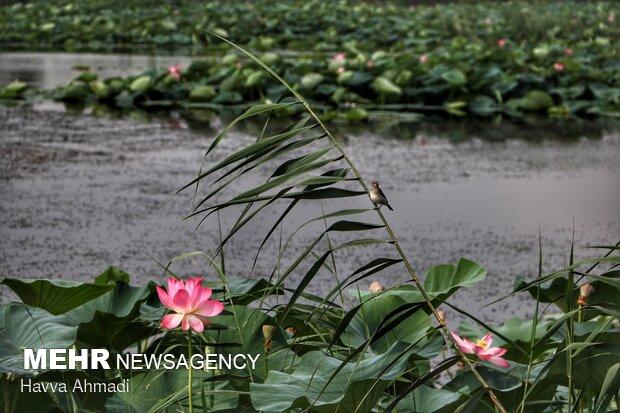گل نیلوفر درتخت جمشیدو در نقش برجستههای آن حک شدهاست. در حجاریهایطاق بستانکرمانشاه هم گل نیلوفر مربوط به زمانساسانیاندیده میشود.