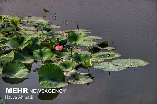از ابتدا این گل برای اقوام مختلف به صورت نمادی مذهبی به کار میرفته است.