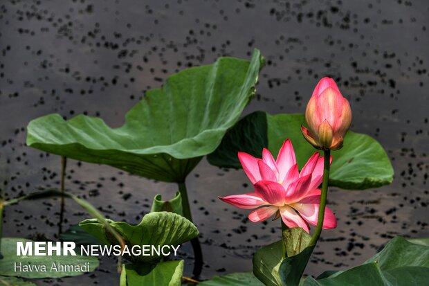 ریشههای این گل در لجن بوده و با این وجود به سمت و سوی آسمان میرود.