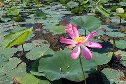 گل دهی لاله های تالابی در «انزلی»