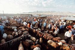 بازار خرید و فروش دام در همدان