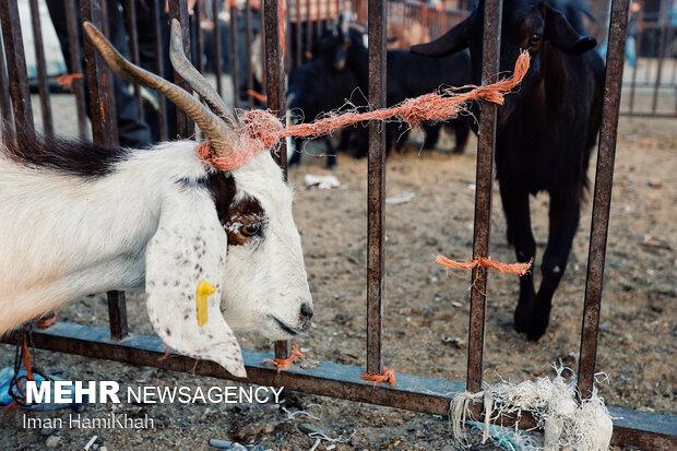 Livestock market ahead of Eid Al Adha in Hamadan
