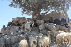 خرید دام مازاد عشایر ایلام هفته آینده آغاز می شود