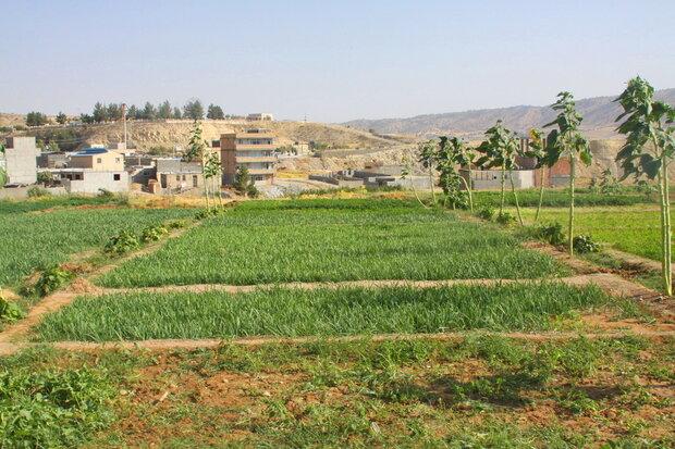 İlam'da sebze hasadı başladı