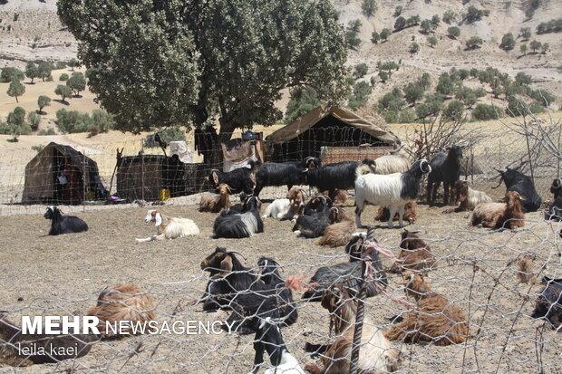 ۹۹ کانون عشایری در استان ایلام فعال است