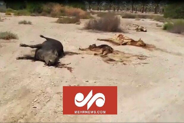 رهاسازی لاشه دام در اطراف روستای زیارت