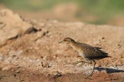۹ گونه پرنده جدید در خراسانجنوبی شناسایی و ثبت شد
