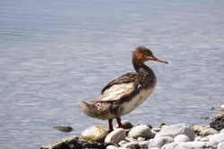 یک گونه کمیاب اردک در هورالعظیم مشاهده شد/ هورالعظیم بهشت پرندگان