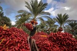 کاهش ۳۰ درصدی تولید خرما در قصرشیرین در پی خشکسالی