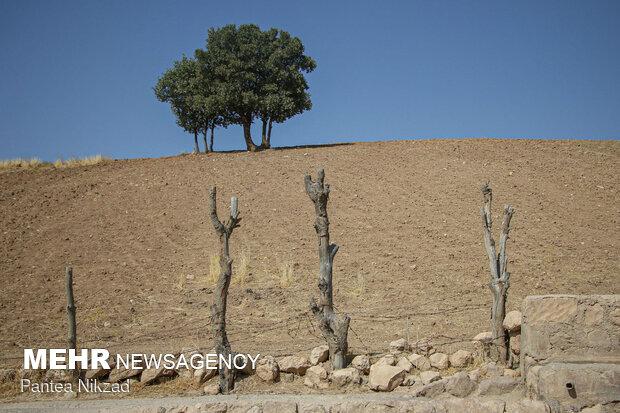 خشک شدن درختهایی که در کنار جوی آب جاری از قنات کاشته شده بودند