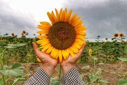 آفتاب گردی گل های آفتابگردان