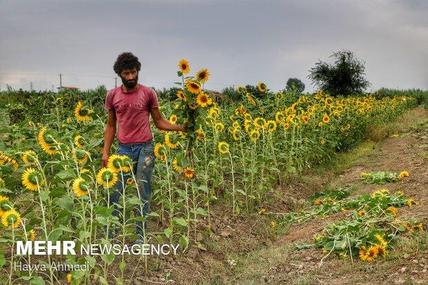 تُنُک نمودن بوته های آفتابگردان بخاطر رشد و محصول دهی بهتر