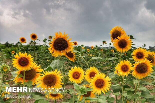 روغن های زیادی از آفتابگردان به دست می آید که می تواند جایگزینی خوشمزه برای کره باشد و همچنین می توان از مواد مغذی آن به طور روزانه استفاده کرد.