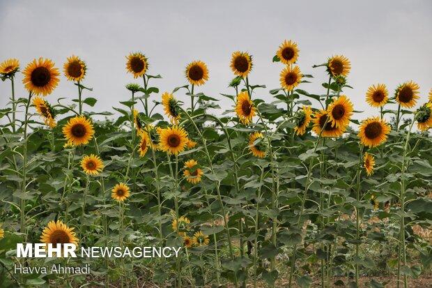 علاوهبراین به یاد داشته باشید که 20 روز قبل و 20 روز بعد از گلدهی نباید این گل را بیش از حد آبیاری کرد. همچنین میتوانید برگها و گلهای مرده را جدا کنید تا گیاه برای رشد بهتر تحریک شود.