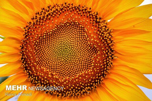 از گلبرگهایش رنگ زرد بینظیری بدست میآید.