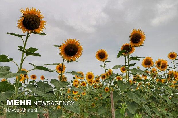 آفتابگردان ها گل های دستی بسیار قد بلند هستند که معمولاً به رنگ سفید یا قرمز و رنگ زرد یا قرمز وجود دارد.