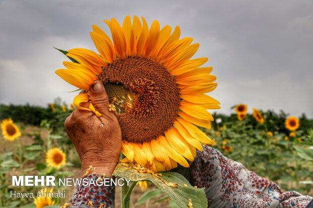 روغن استخراج شده از دانههای آفتابگردان در صنایع غذایی و خوراکی کاربرد داشته در کشورهایی مانند کشورمان ایران، بیشترین روغن مصرفی مردم روغن آفتابگردان است.