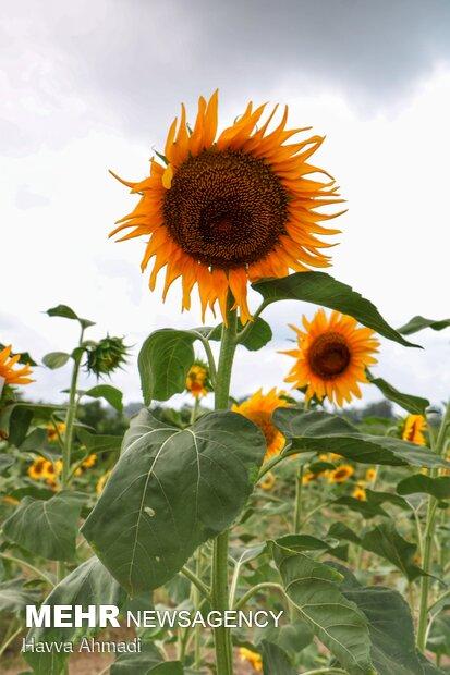 اگر برگهای آفتابگردان شما رو به زرد و پژمرده شدن رفت، به احتمال زیاد خاک بیش از حد برای آن مرطوب است.