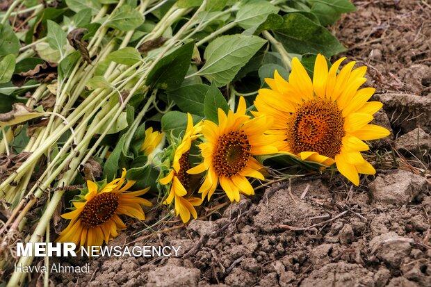 گل آفتابگردان، چندساله است و با یک بار کاشت، چند سال برمیگردد و مجددا به باغچه شما گلهای زیبای خود را هدیه میدهد!