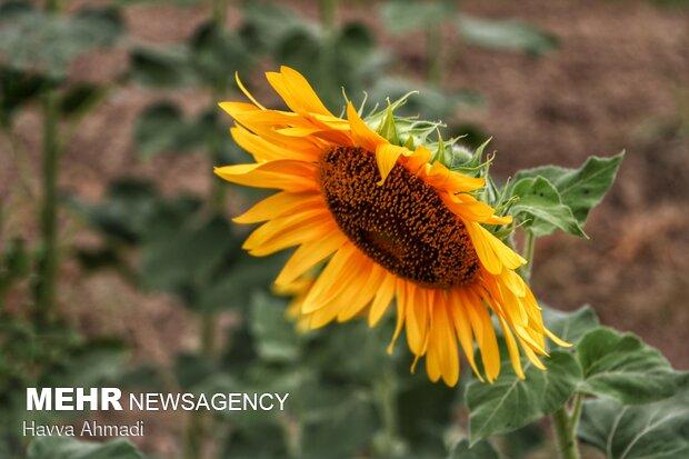 Sunflower filed in N. Iran
