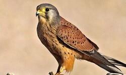کشف ۶ بهله پرنده شکاری از متخلفین در استان تهران