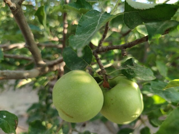 VIDEO: Apple orchards in Boyer-Ahmad