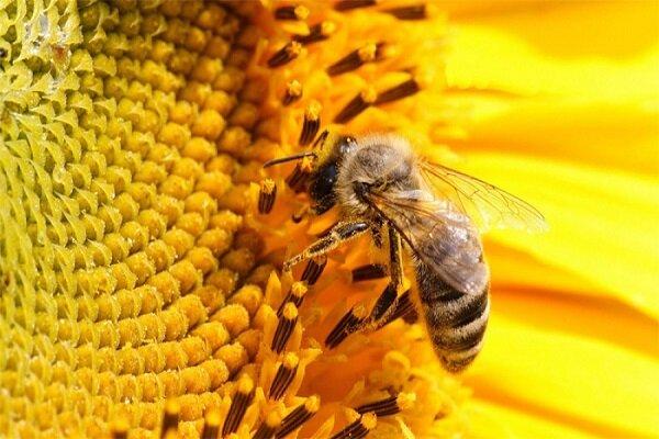 وجود بیش از ۴۵۰ هزار کلنی زنبور عسل در کرمانشاه