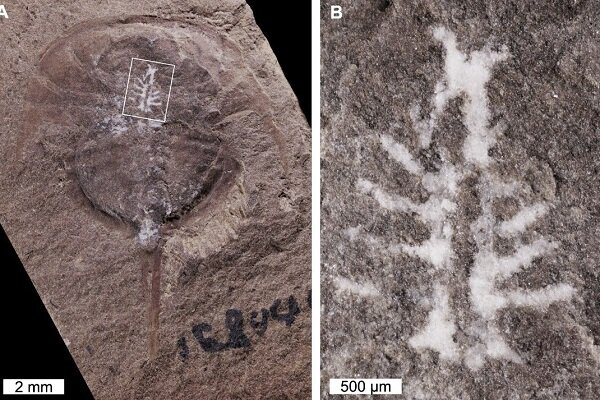 شناسایی فسیل مغز سالم ۳۱۰ میلیون ساله